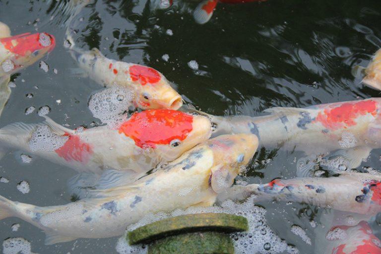 雲林 摩爾花園 桂丁雞